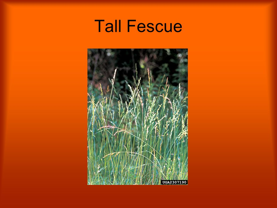 Tall Fescue