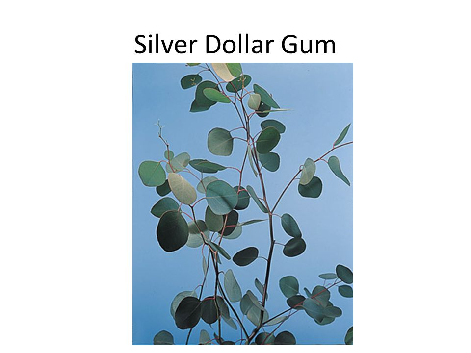 Silver Dollar Gum