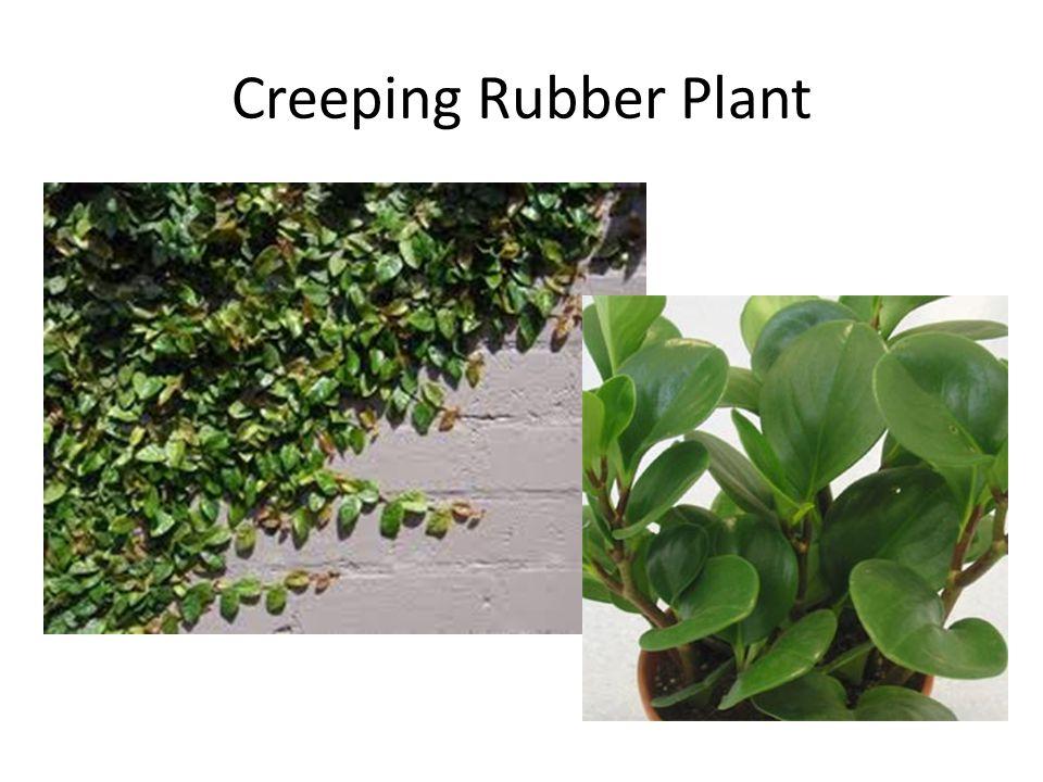 Creeping Rubber Plant