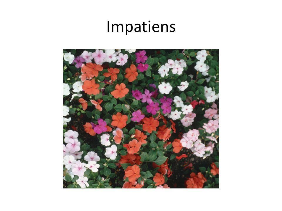 Impatiens