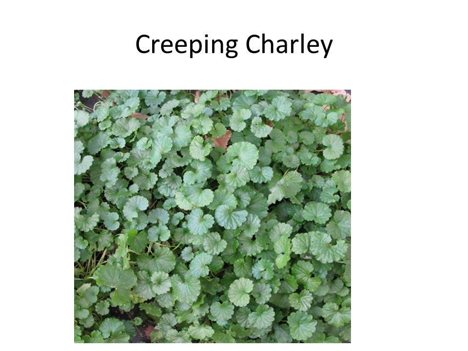 Creeping Charley