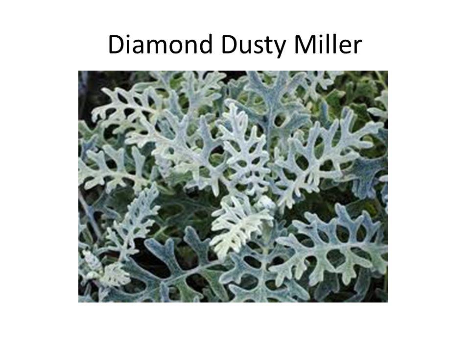Diamond Dusty Miller