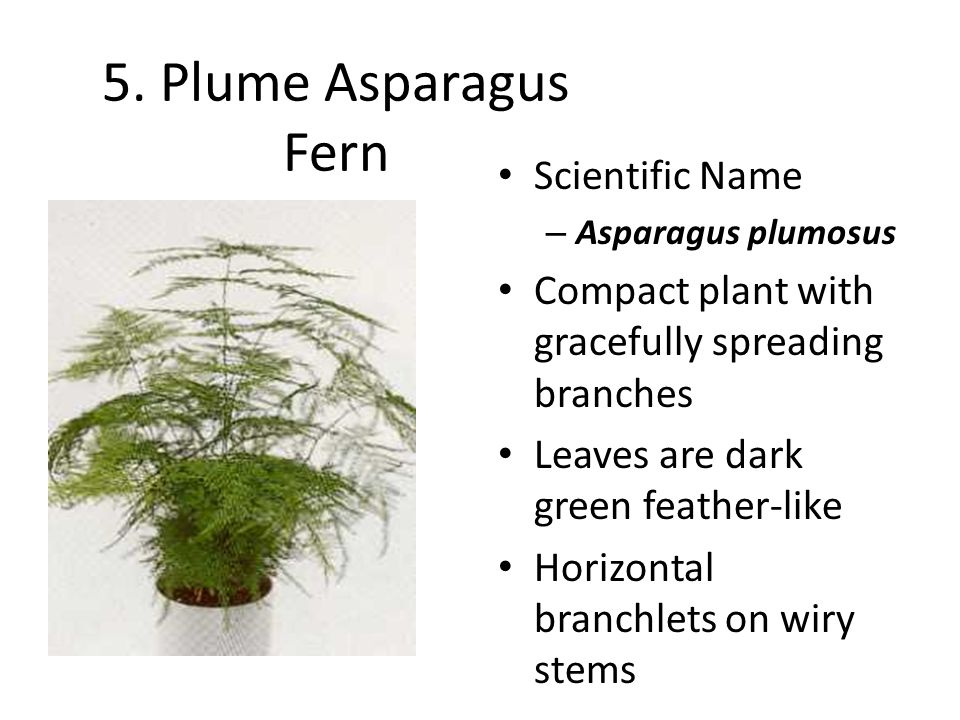 5. Plume Asparagus Fern Scientific Name – Asparagus plumosus Compact plant with gracefully spreading branches Leaves are dark green feather-like Horiz