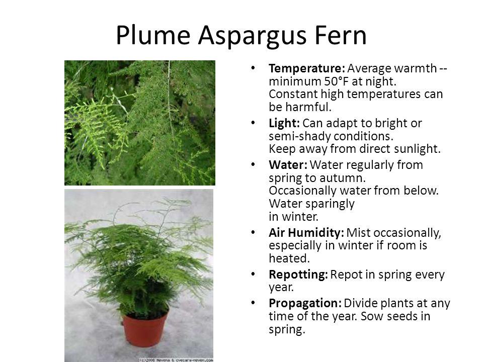 Plume Aspargus Fern Temperature: Average warmth -- minimum 50°F at night.