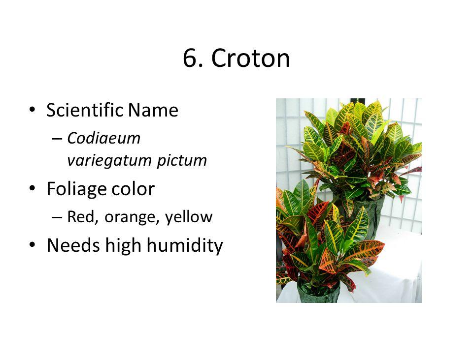6. Croton Scientific Name – Codiaeum variegatum pictum Foliage color – Red, orange, yellow Needs high humidity