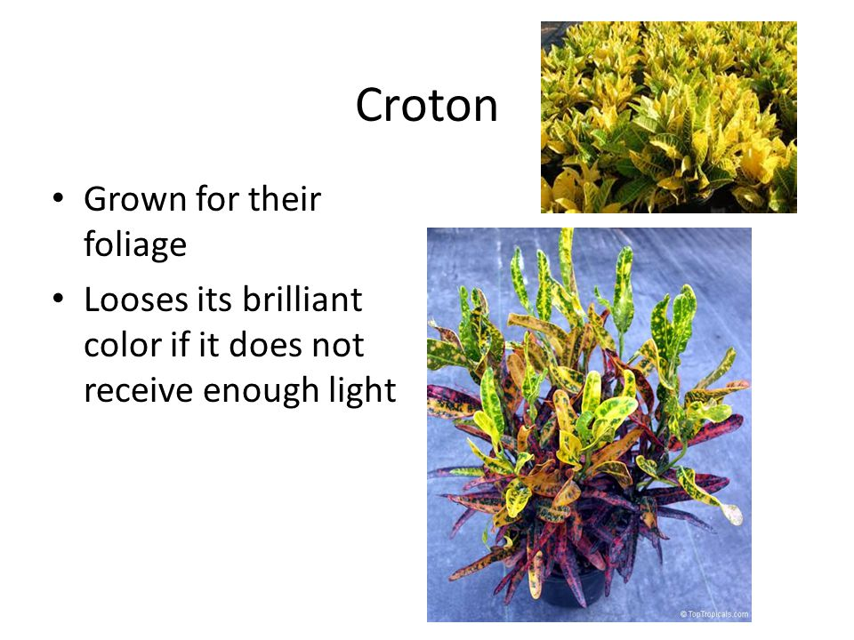 Croton Grown for their foliage Looses its brilliant color if it does not receive enough light