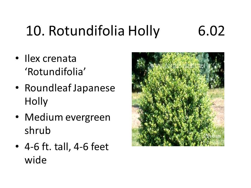 10. Rotundifolia Holly 6.02 Ilex crenata 'Rotundifolia' Roundleaf Japanese Holly Medium evergreen shrub 4-6 ft. tall, 4-6 feet wide