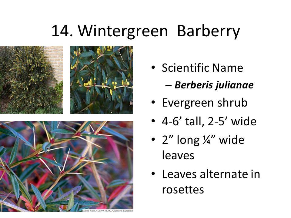 "14. Wintergreen Barberry Scientific Name – Berberis julianae Evergreen shrub 4-6' tall, 2-5' wide 2"" long ¼"" wide leaves Leaves alternate in rosettes"