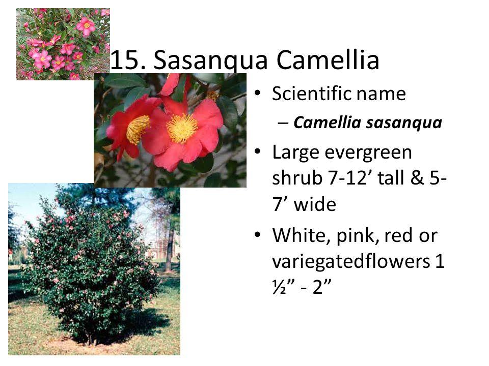 "15. Sasanqua Camellia Scientific name – Camellia sasanqua Large evergreen shrub 7-12' tall & 5- 7' wide White, pink, red or variegatedflowers 1 ½"" - 2"