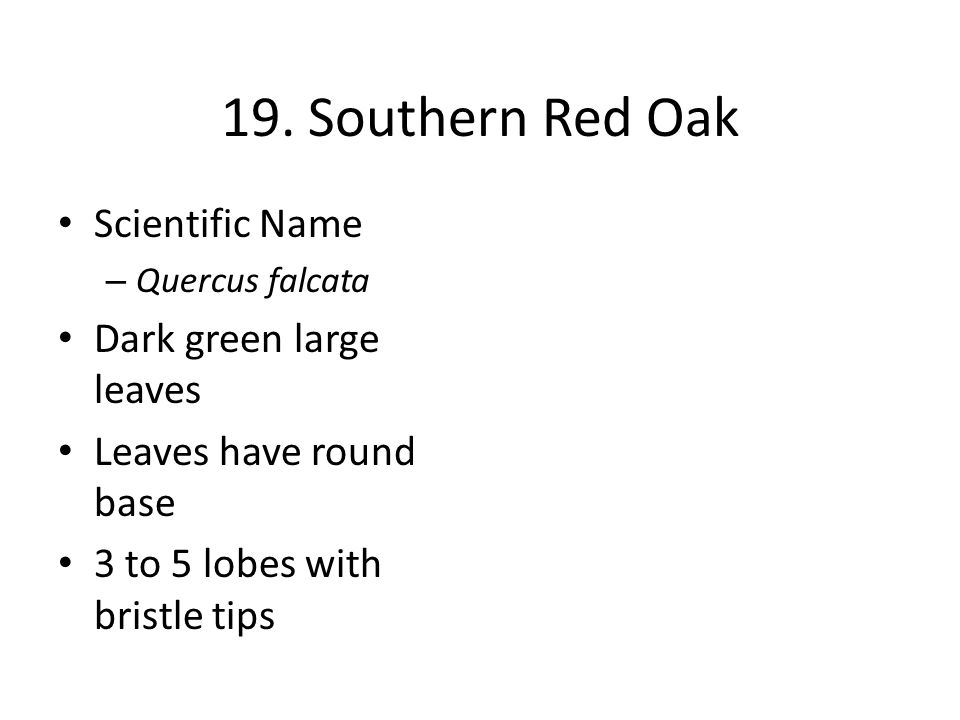 19. Southern Red Oak Scientific Name – Quercus falcata Dark green large leaves Leaves have round base 3 to 5 lobes with bristle tips