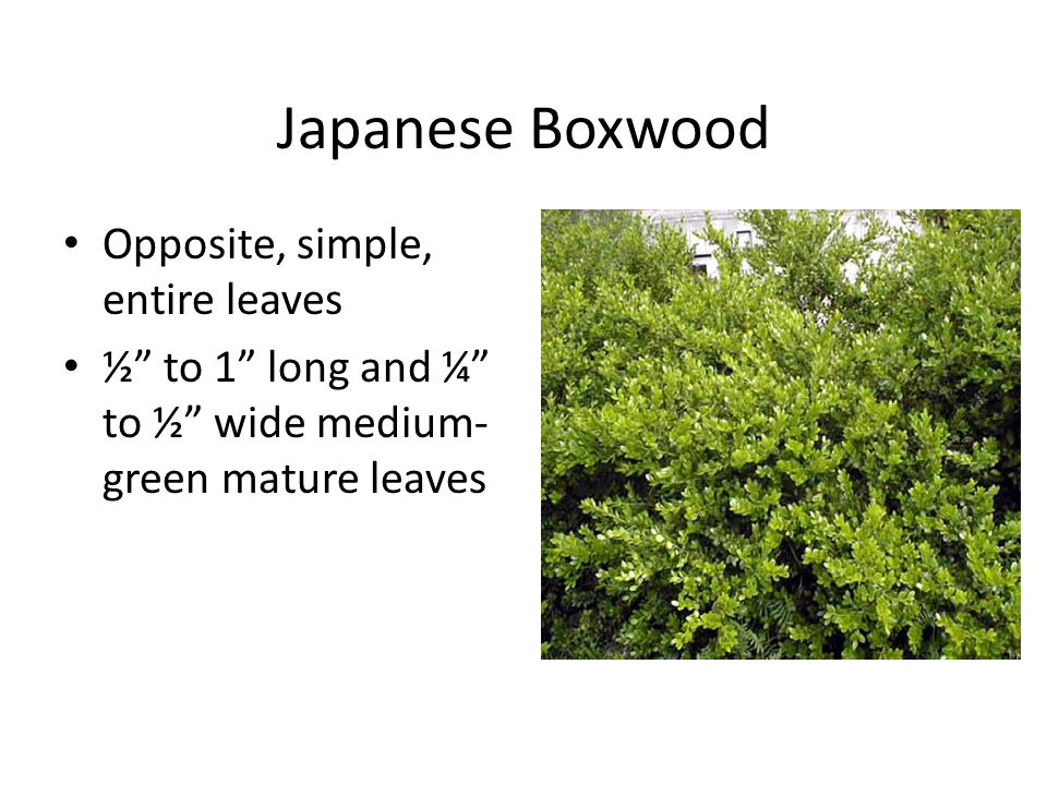 Japanese Boxwood Opposite, simple, entire leaves ½ to 1 long and ¼ to ½ wide medium- green mature leaves