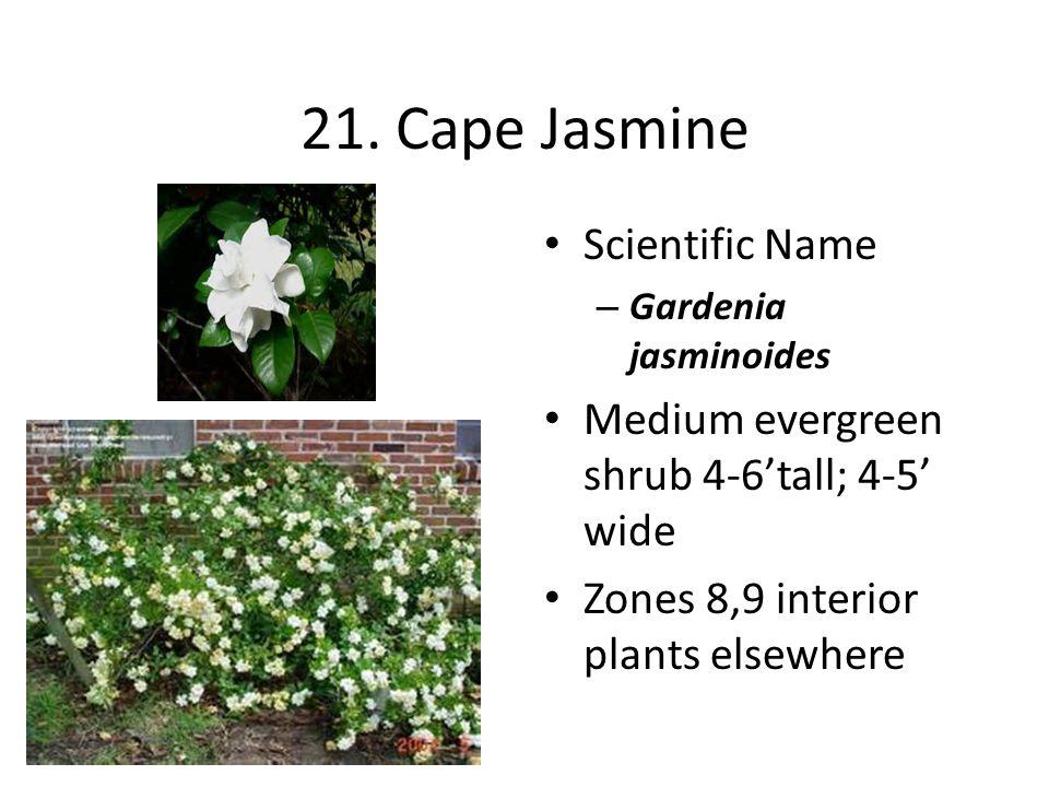 21. Cape Jasmine Scientific Name – Gardenia jasminoides Medium evergreen shrub 4-6'tall; 4-5' wide Zones 8,9 interior plants elsewhere