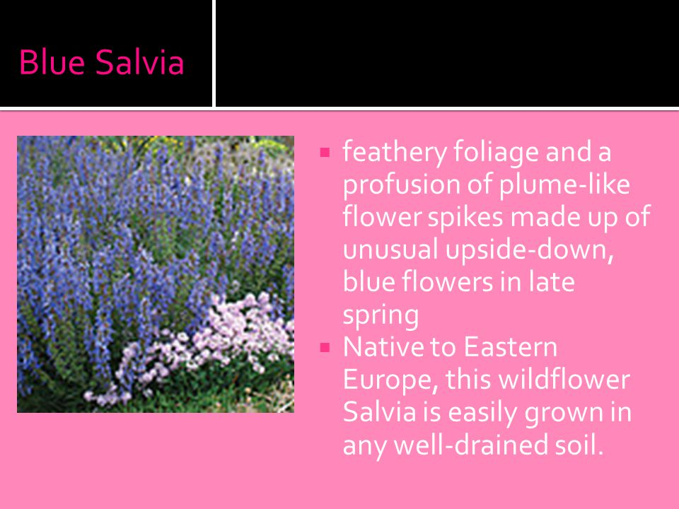 Blue Salvia  feathery foliage and a profusion of plume-like flower spikes made up of unusual upside-down, blue flowers in late spring  Native to Eastern Europe, this wildflower Salvia is easily grown in any well-drained soil.