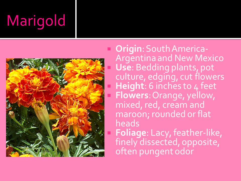 Marigold  Origin: South America- Argentina and New Mexico  Use: Bedding plants, pot culture, edging, cut flowers  Height: 6 inches to 4 feet  Flowers: Orange, yellow, mixed, red, cream and maroon; rounded or flat heads  Foliage: Lacy, feather-like, finely dissected, opposite, often pungent odor