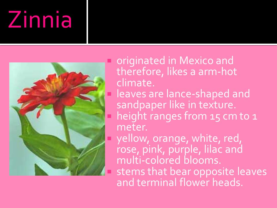 Zinnia  originated in Mexico and therefore, likes a arm-hot climate.