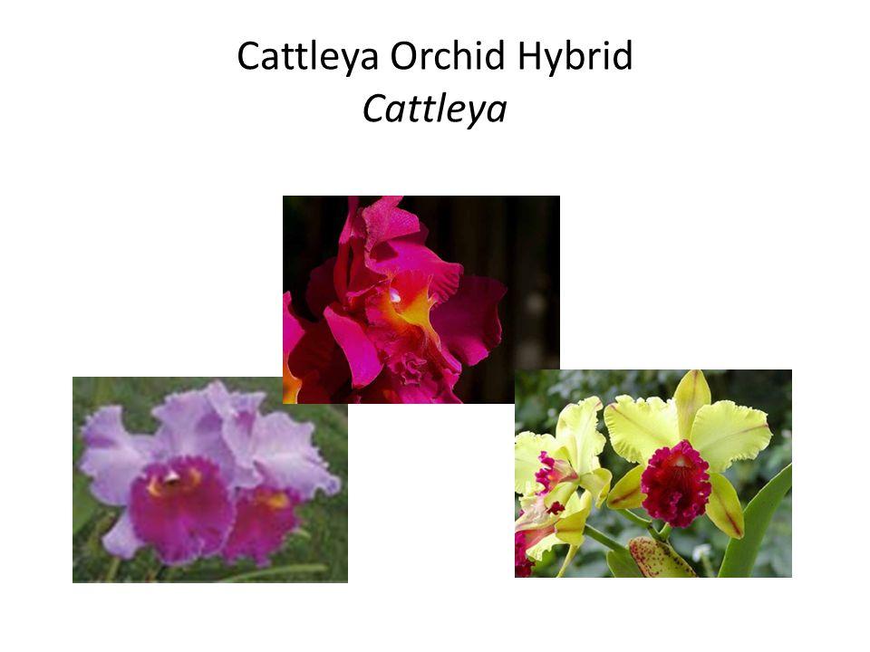 Cattleya Orchid Hybrid Cattleya