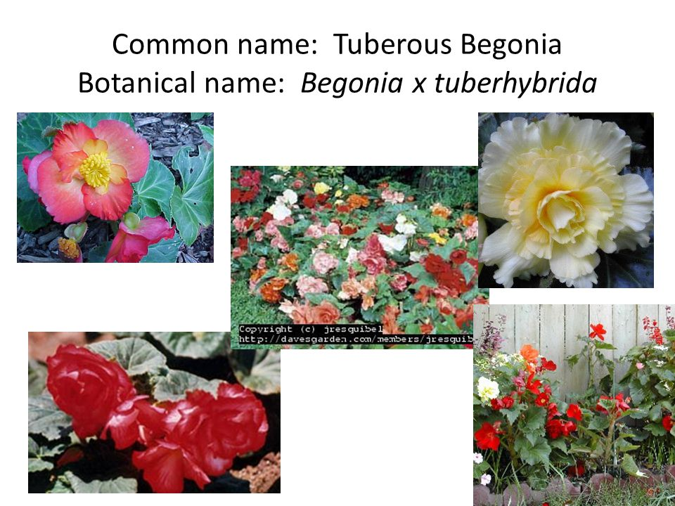 Common name: Tuberous Begonia Botanical name: Begonia x tuberhybrida