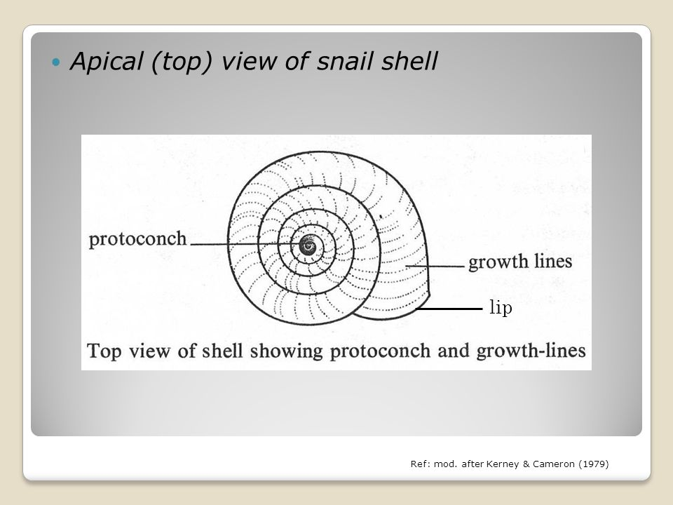 Apical (top) view of snail shell Ref: mod. after Kerney & Cameron (1979) lip