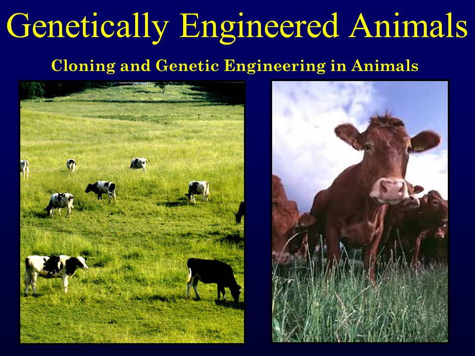 Genetically Engineered Animals Cloning and Genetic Engineering in Animals