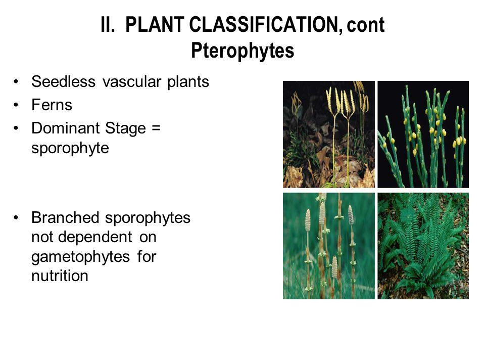 II. PLANT CLASSIFICATION, cont Pterophytes Seedless vascular plants Ferns Dominant Stage = sporophyte Branched sporophytes not dependent on gametophyt