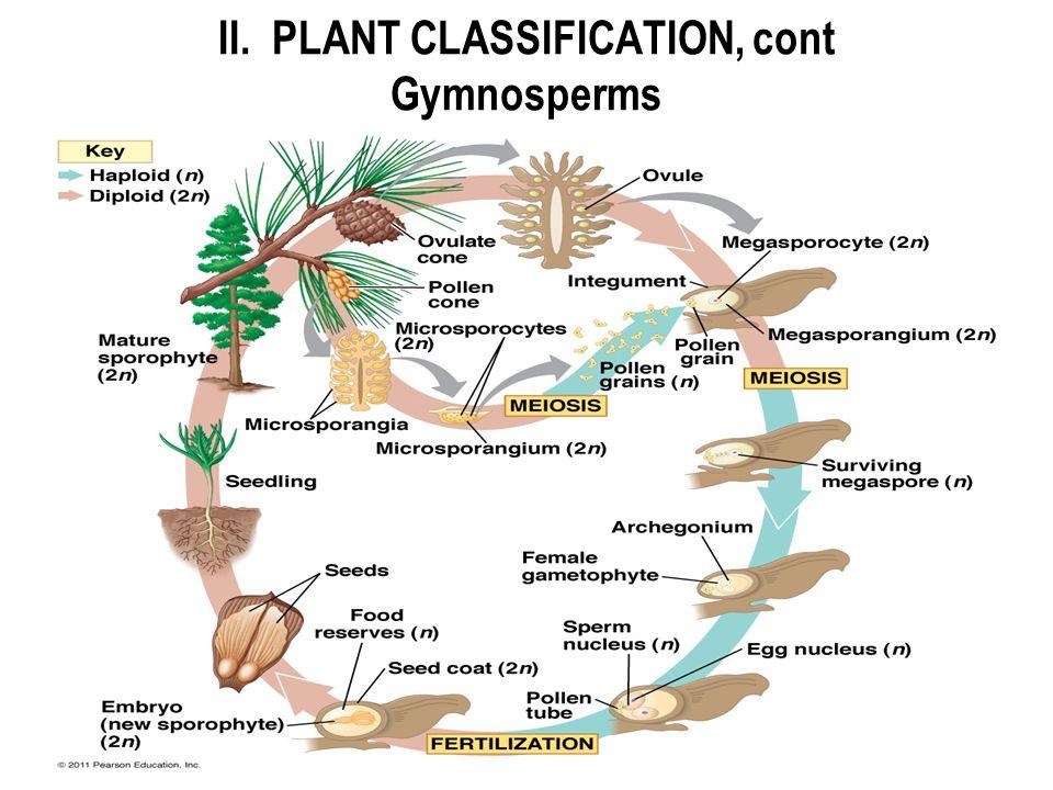 II. PLANT CLASSIFICATION, cont Gymnosperms