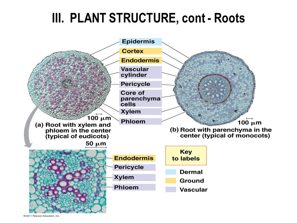 Osmosis in Plant Roots Plant Structure Cont Roots