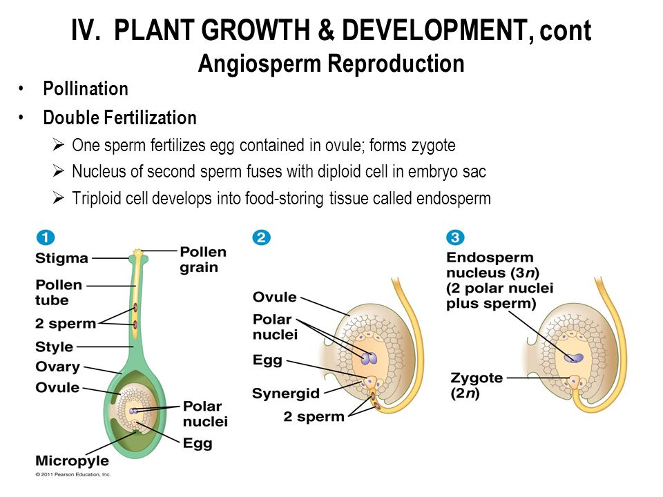 Pollination Double Fertilization  One sperm fertilizes egg contained in ovule; forms zygote  Nucleus of second sperm fuses with diploid cell in embr