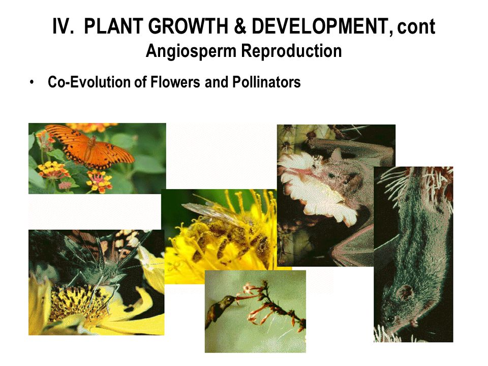 IV. PLANT GROWTH & DEVELOPMENT, cont Angiosperm Reproduction Co-Evolution of Flowers and Pollinators