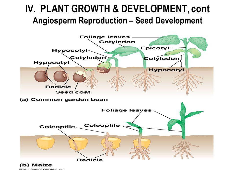 IV. PLANT GROWTH & DEVELOPMENT, cont Angiosperm Reproduction – Seed Development