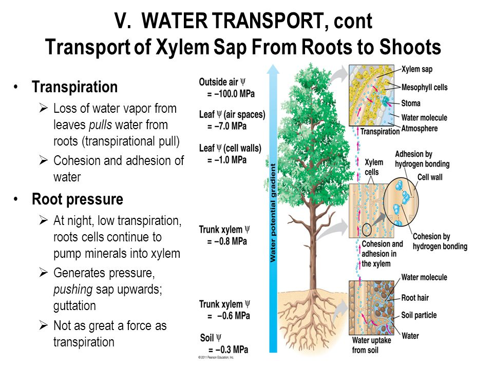 V. WATER TRANSPORT, cont Transport of Xylem Sap From Roots to Shoots Transpiration  Loss of water vapor from leaves pulls water from roots (transpira