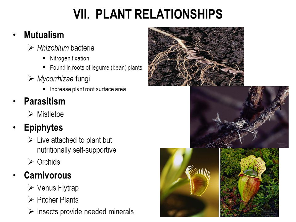 VII. PLANT RELATIONSHIPS Mutualism  Rhizobium bacteria  Nitrogen fixation  Found in roots of legume (bean) plants  Mycorrhizae fungi  Increase pl