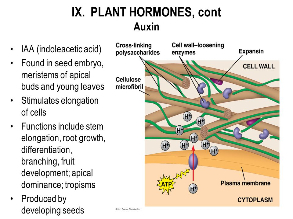 IX. PLANT HORMONES, cont Auxin IAA (indoleacetic acid) Found in seed embryo, meristems of apical buds and young leaves Stimulates elongation of cells