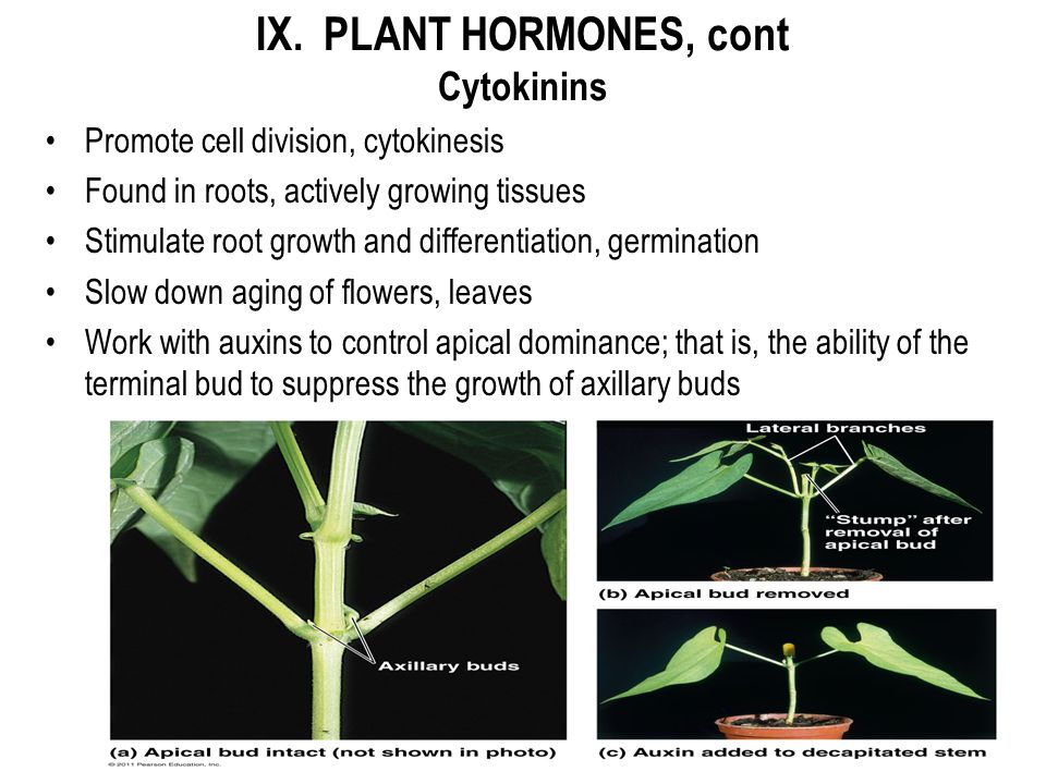 IX. PLANT HORMONES, cont Cytokinins Promote cell division, cytokinesis Found in roots, actively growing tissues Stimulate root growth and differentiat