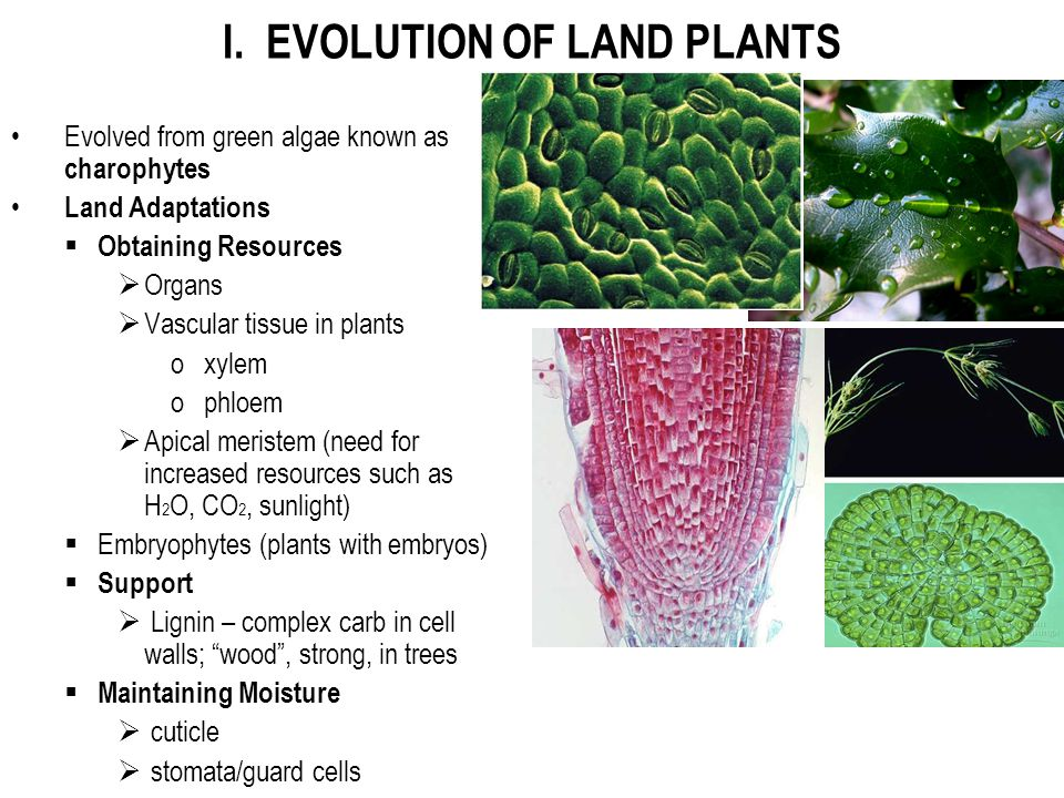 I. EVOLUTION OF LAND PLANTS Evolved from green algae known as charophytes Land Adaptations  Obtaining Resources  Organs  Vascular tissue in plants