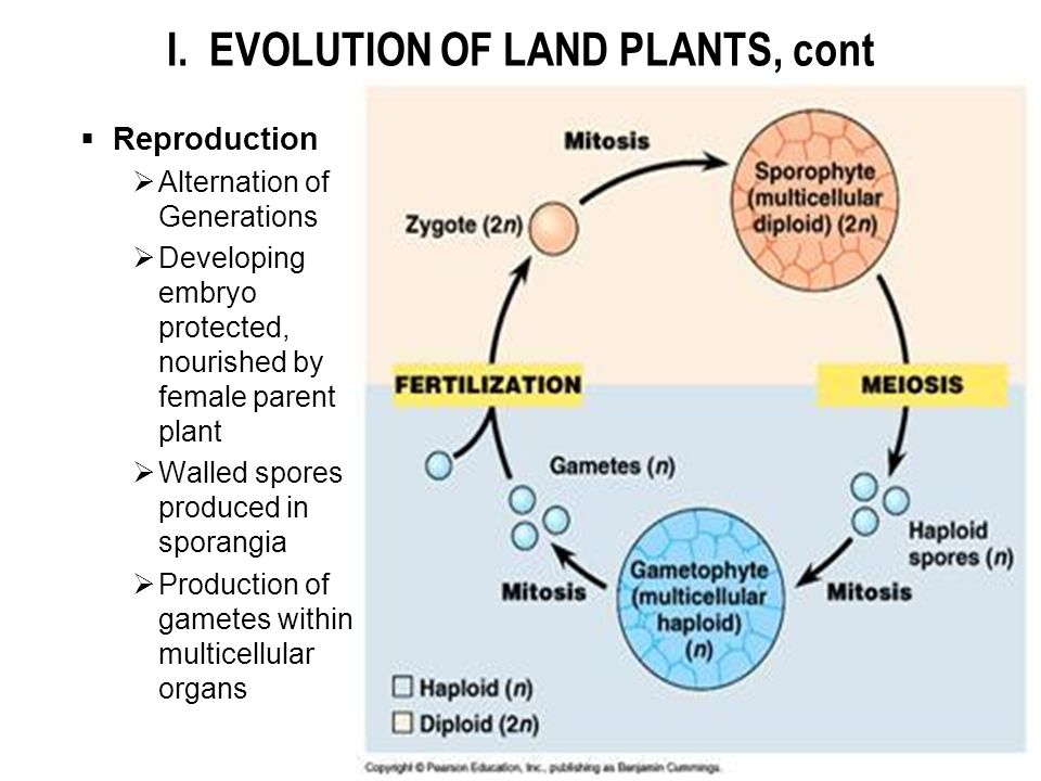 I. EVOLUTION OF LAND PLANTS, cont  Reproduction  Alternation of Generations  Developing embryo protected, nourished by female parent plant  Walled