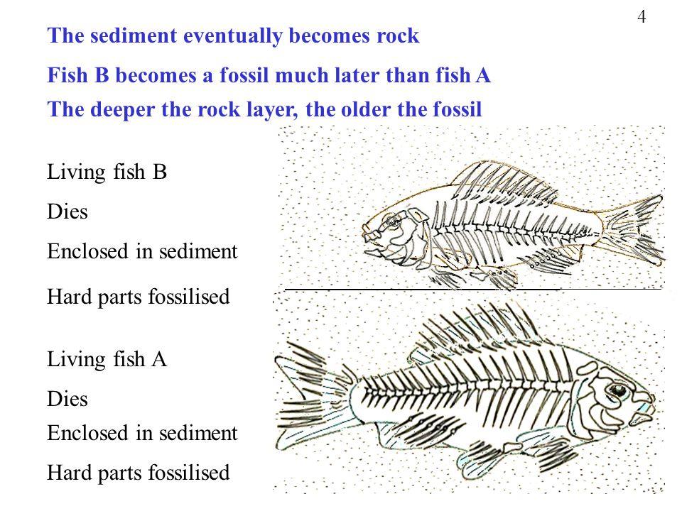 Living fish A Dies Enclosed in sediment Hard parts fossilised Living fish B Dies Enclosed in sediment Hard parts fossilised Fish B becomes a fossil mu