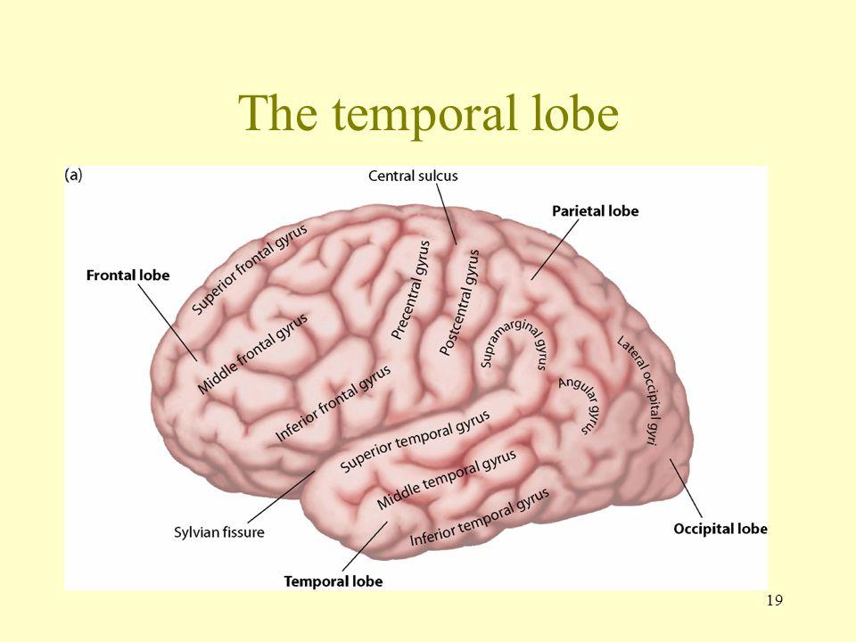 19 The temporal lobe