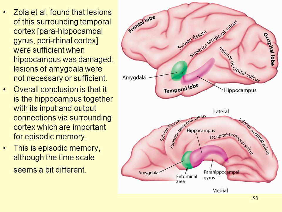 58 Zola et al. found that lesions of this surrounding temporal cortex [para-hippocampal gyrus, peri-rhinal cortex] were sufficient when hippocampus wa