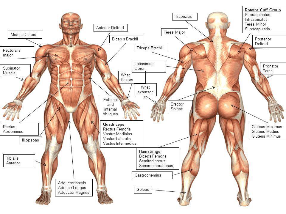 Wrist flexors Bicep s Brachii Triceps Brachii Wrist extensor s Pronator Teres Supinator Muscle Anterior Deltoid Rotator Cuff Group Supraspinatus Infra