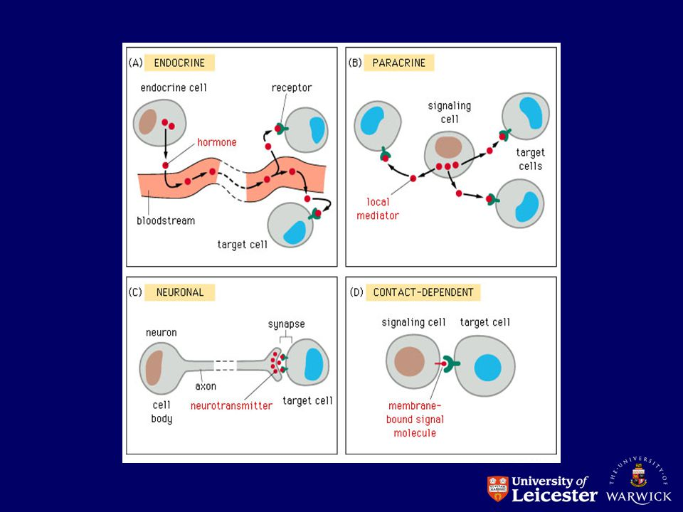 Cellular proliferative capacity Tissues can be classified according to the ability of their cells to divide Some tissues contain a pool of cells that move rapidly from one cell cycle to the next.
