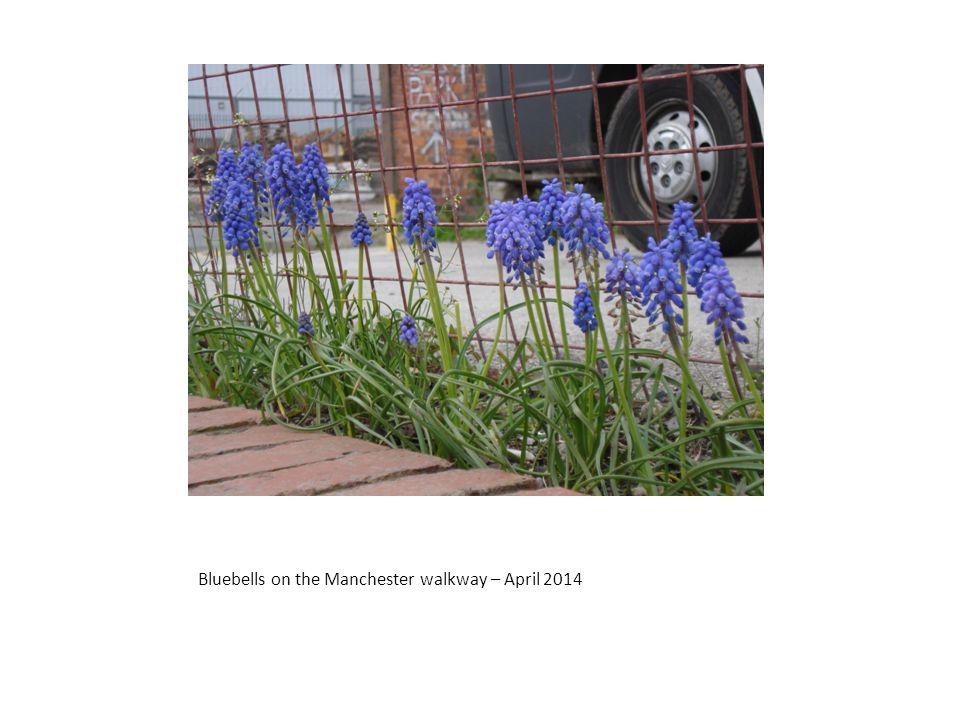 Bluebells on the Manchester walkway – April 2014