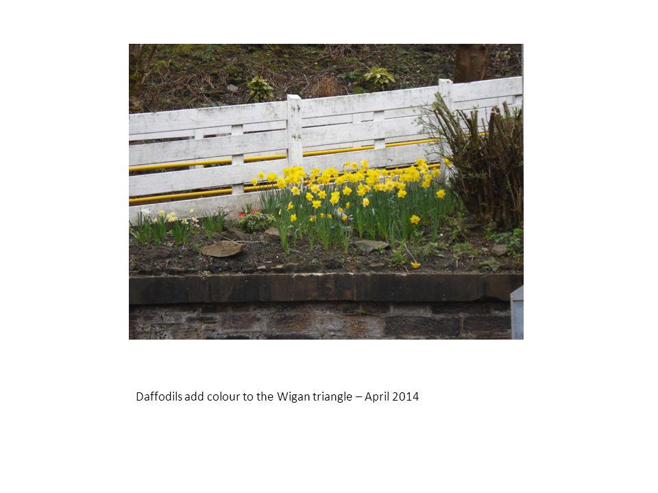 Daffodils add colour to the Wigan triangle – April 2014