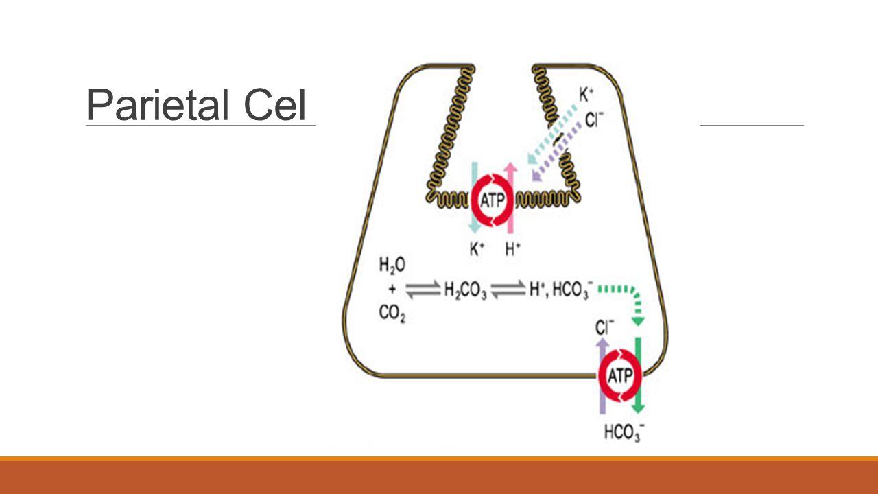 Parietal Cell