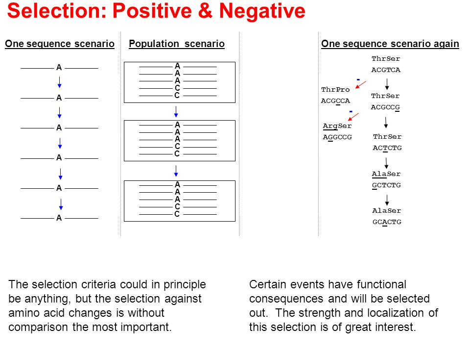 Selection: Positive & Negative A A A A A A One sequence scenarioPopulation scenario A A A C C A A A C C A A A C C ThrSer ACGTCA Pro ThrPro ACGCCA ThrSer ACGCCG ArgSer AGGCCG ThrSer ACTCTG AlaSer GCTCTG AlaSer GCACTG - - One sequence scenario again Certain events have functional consequences and will be selected out.