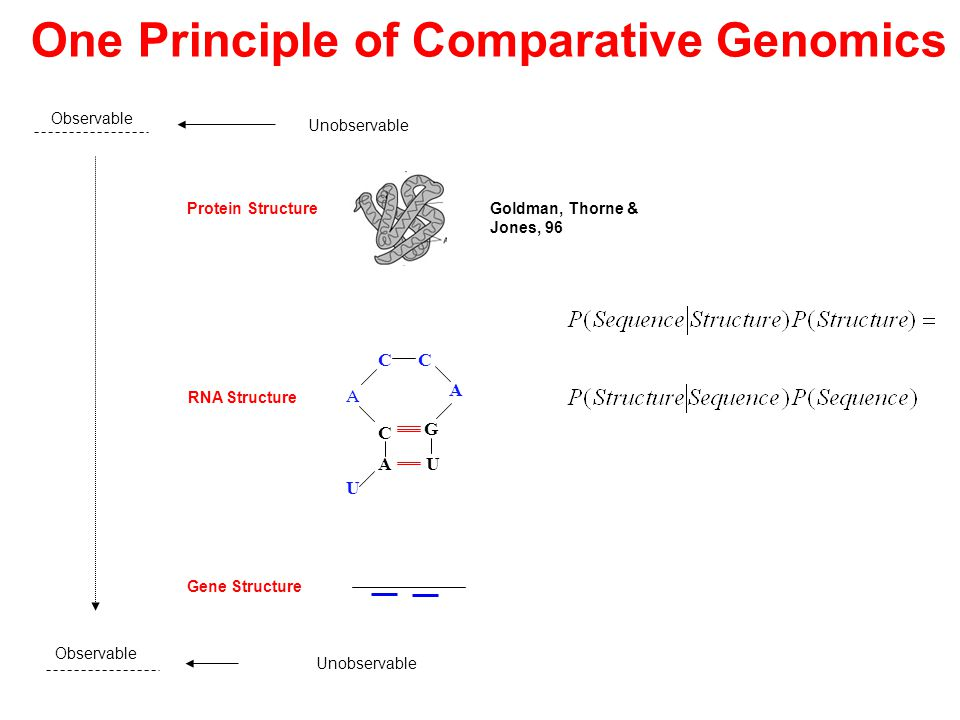 Observable Unobservable U C G A C A U A C Goldman, Thorne & Jones, 96 RNA Structure Gene Structure One Principle of Comparative Genomics Protein Structure