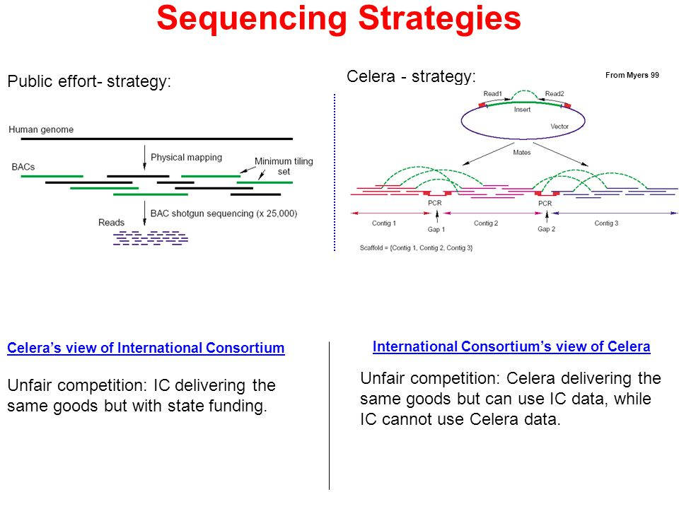 Public effort- strategy: Celera - strategy: From Myers 99 Sequencing Strategies Celera's view of International Consortium International Consortium's view of Celera Unfair competition: IC delivering the same goods but with state funding.