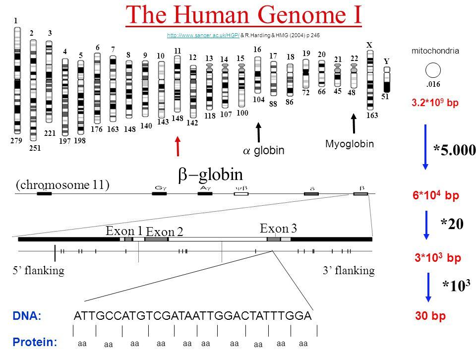  globin Exon 2 Exon 1 Exon 3 5' flanking 3' flanking (chromosome 11) The Human Genome I http://www.sanger.ac.uk/HGP/http://www.sanger.ac.uk/HGP/ & R.Harding & HMG (2004) p 245 *5.000 *20 6*10 4 bp 3.2*10 9 bp *10 3 3*10 3 bp ATTGCCATGTCGATAATTGGACTATTTGGA30 bp Myoglobin  globin aa DNA: Protein: 1 23 4 5 6 7 8 9 X Y 15 14 13 12 10 11 21 20 19 18 17 16 22 279 251 221 197 198 176163148 140 143 148 142 118 107 100 104 88 86 72 66 45 48 163 51 mitochondria.016