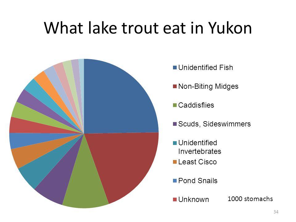 What lake trout eat in Yukon 34 1000 stomachs