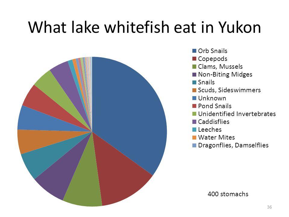 What lake whitefish eat in Yukon 36 400 stomachs