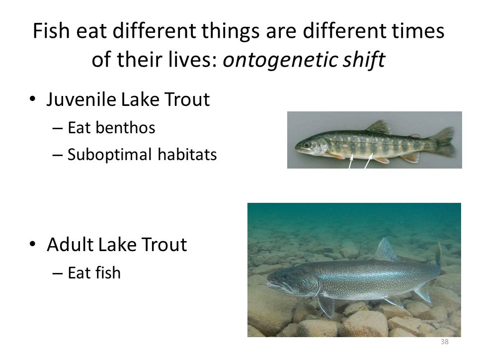 Fish eat different things are different times of their lives: ontogenetic shift Juvenile Lake Trout – Eat benthos – Suboptimal habitats Adult Lake Trout – Eat fish 38